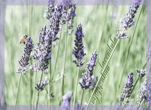 Lavendula-Augustifolia-copy