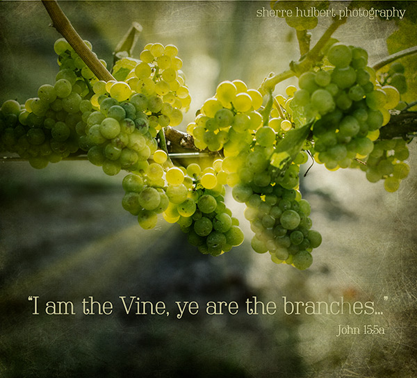 Grapes-end-of-July-copy